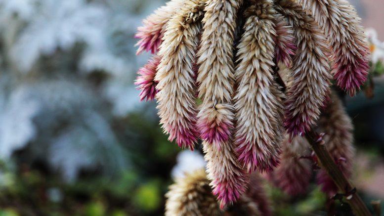 Cuáles son los beneficios del amaranto