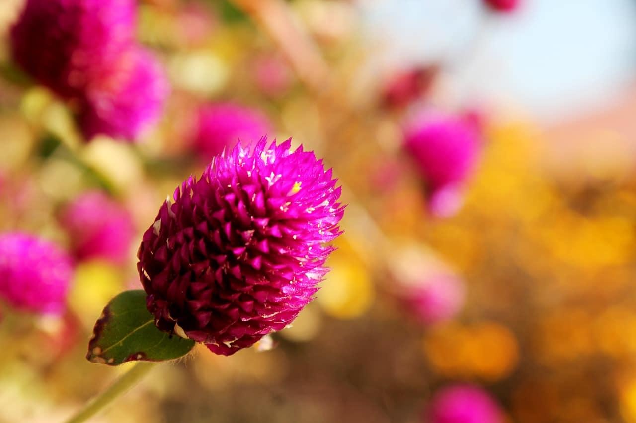 Flor del Amaranto