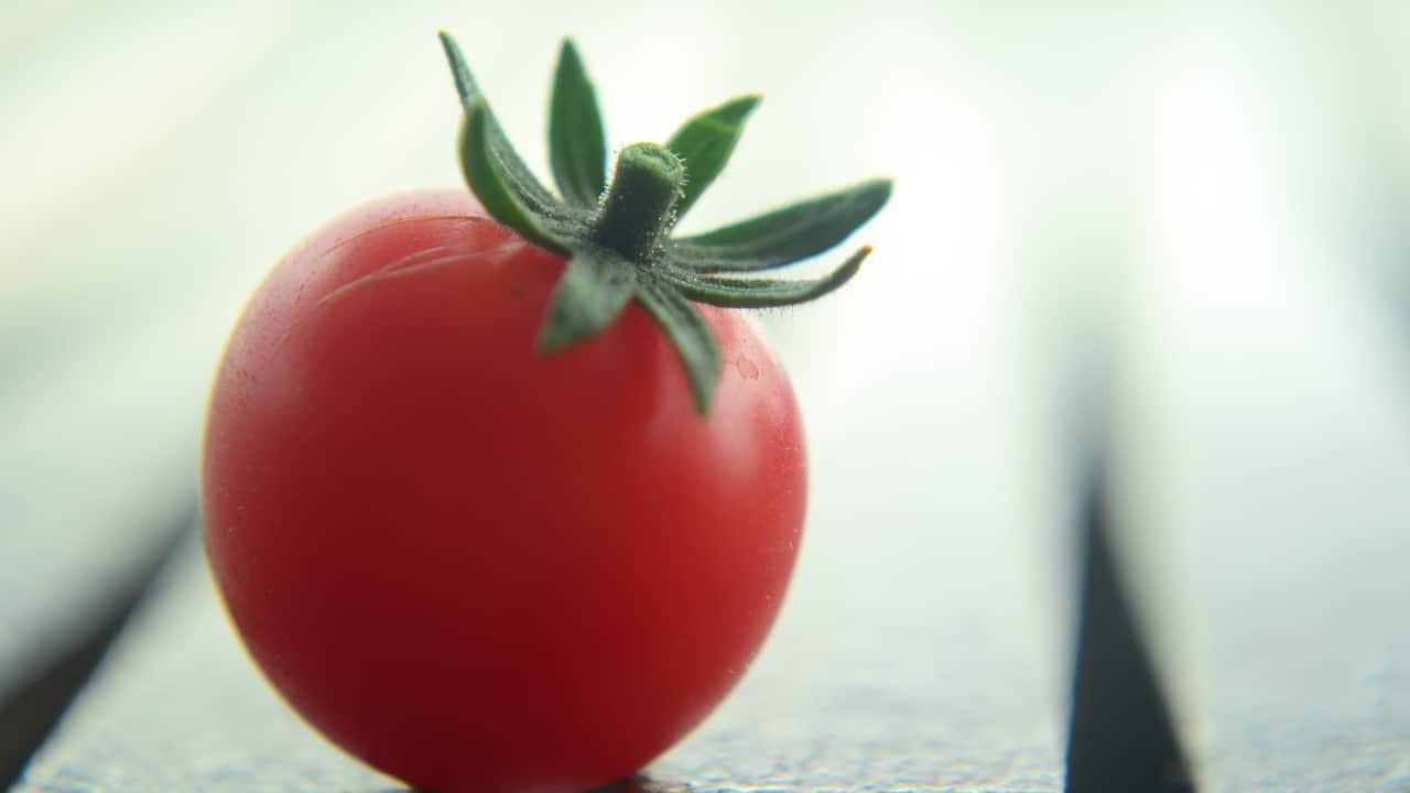 Tomate transgénico